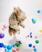A Portuguese Waterdog jumping amongst falling colored balls