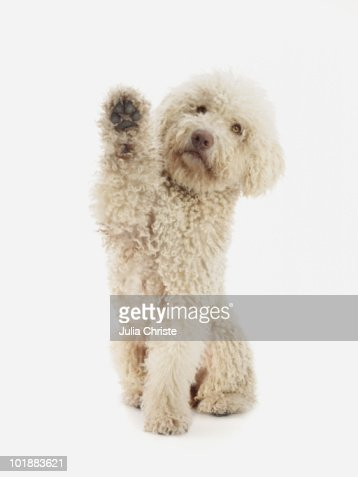 A Portuguese Waterdog raising its front paw