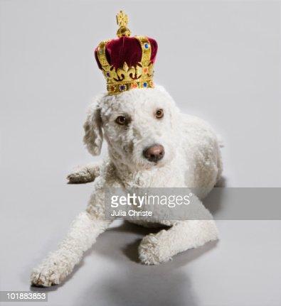 A Portuguese Waterdog wearing a crown