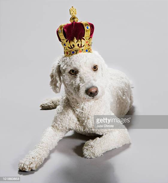 A Portuguese Waterdog wearing a crown