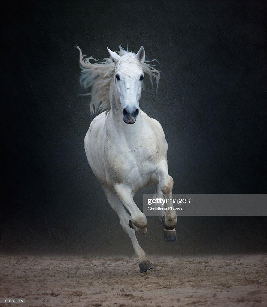 Portuguese white Lusitano horse galloping