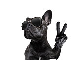 cool trendy posing french bulldog with sunglasses looking up like a model , with peace or victory fingers , isolated on white