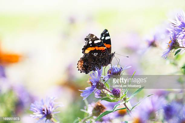 Posing Red Admiral