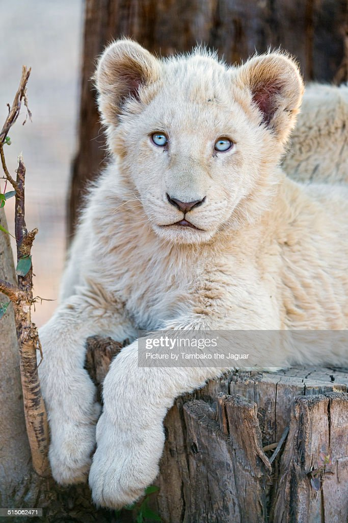 Image Of <b>White Lion Cubs</b>