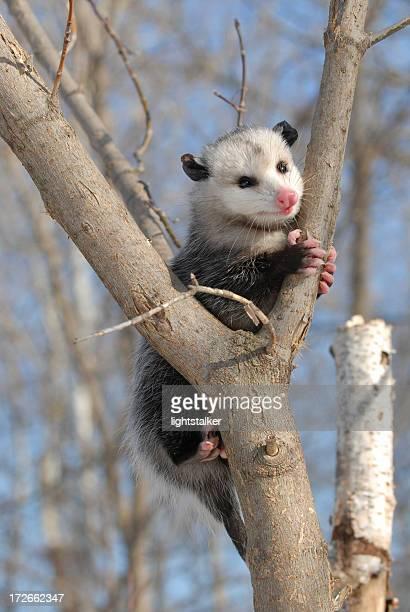 Possum in a tree