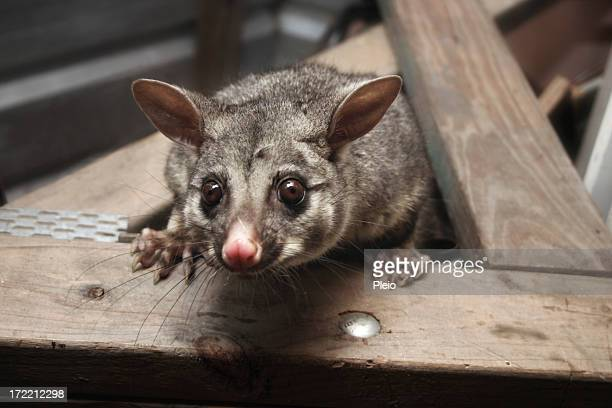 possum in luftige Höhen Blick nach unten