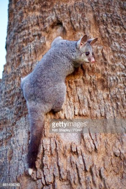 Possum on tree trunk