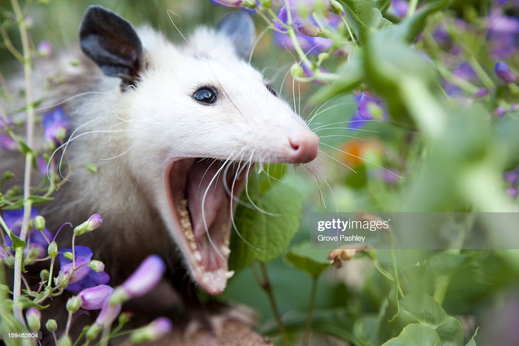 Possum with mouth wide open : Stock Photo