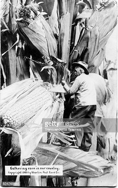 Postcard features agricultural trick photography of a farmer as he saws an enormous ear of corn circa 1910