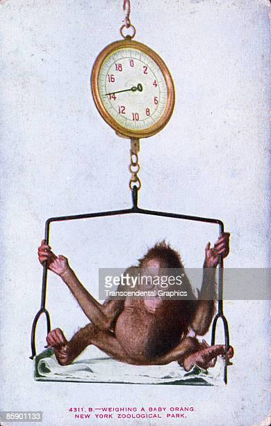 Postcard showing a baby orangutan being weighed on an oldfashioned scale United States ca1915