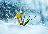 greeting card with festive bright yellow flowers snowdrop crocuses make their way into Sunny spring day from under cold white snow
