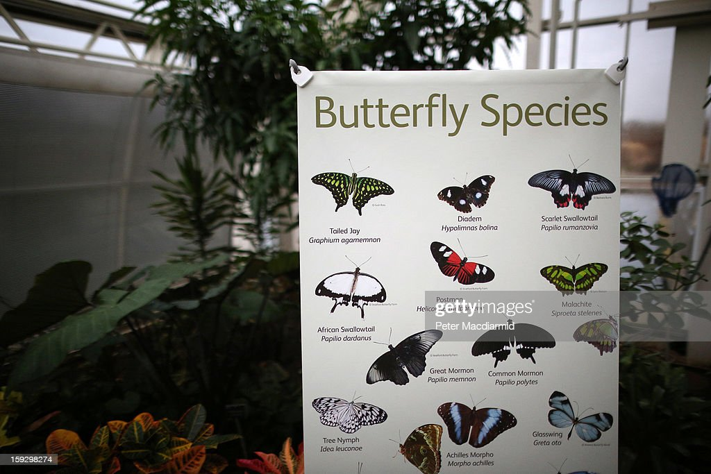 A poster explains the various types of butterflies for visitors to the The Glasshouse at RHS Wisley Gardens on January 11, 2013 near Woking, England. Rare and exotic butterflies have been placed in The Glasshouse for visitors from January 12 to February 24, 2013.