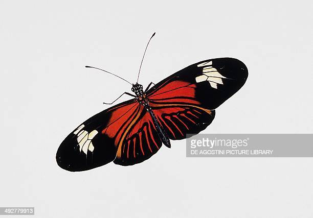 Postman butterfly Nymphalidae Artwork by Rebecca Hardy