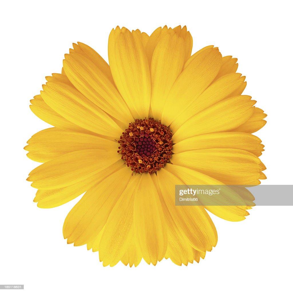 Pot Marigold - Calendula officinalis