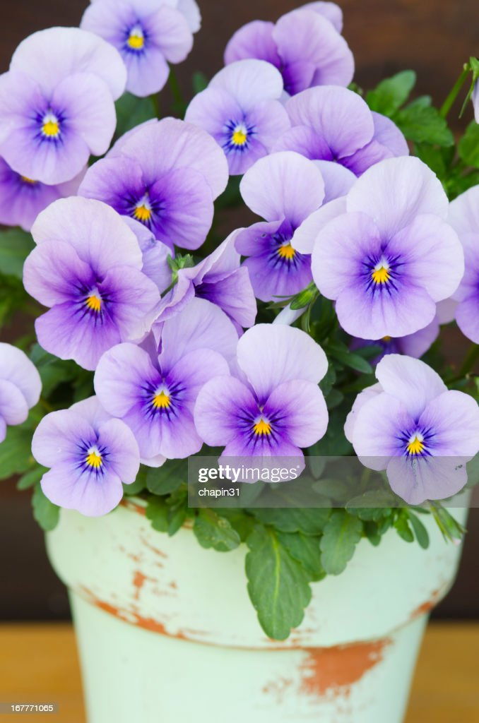 Pot of Blooming Violets