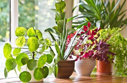Pot plants display on the window : Stock Photo