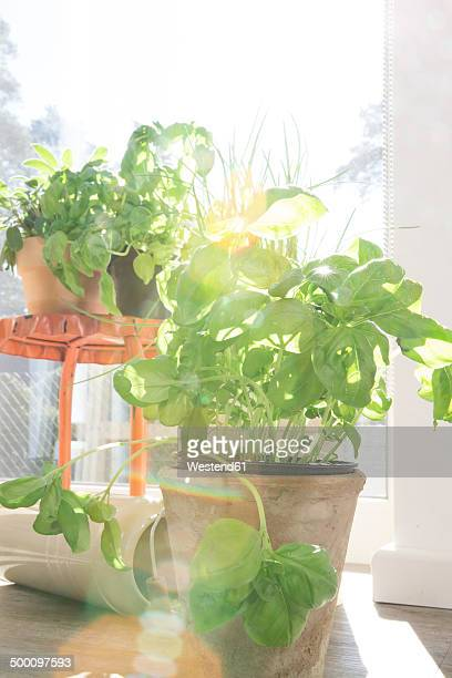 Pot with basil at sunny window