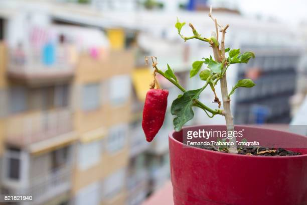 Pot with red pepper