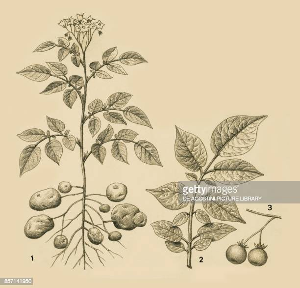 1 plant 2 leaf 3 fruit drawing