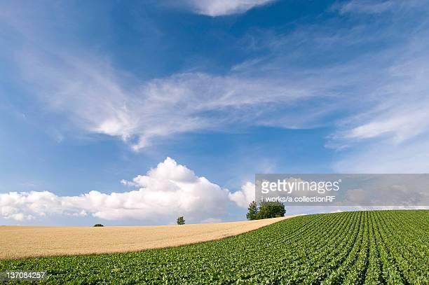 Potato and wheat field and hill, Hokkaido Prefecture, Japan