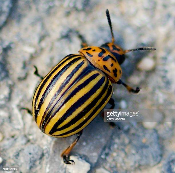 Colorado Potato Beetle Stock Photos And Pictures