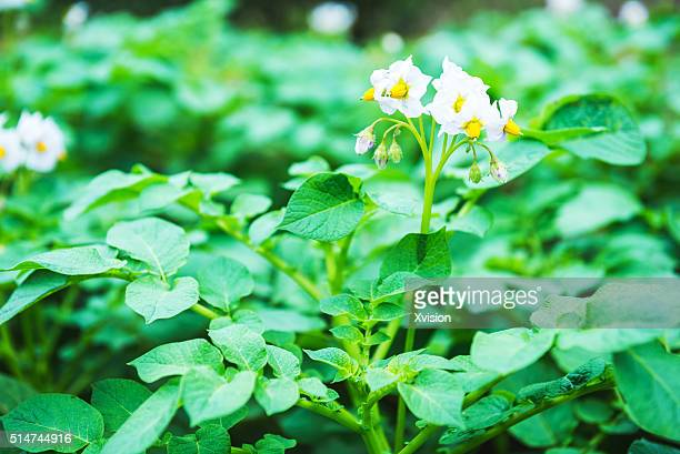 potato blooming in spring