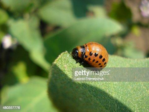 Potato bug : Stock Photo