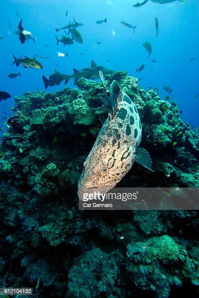 Potato Cod- Potato Grouper