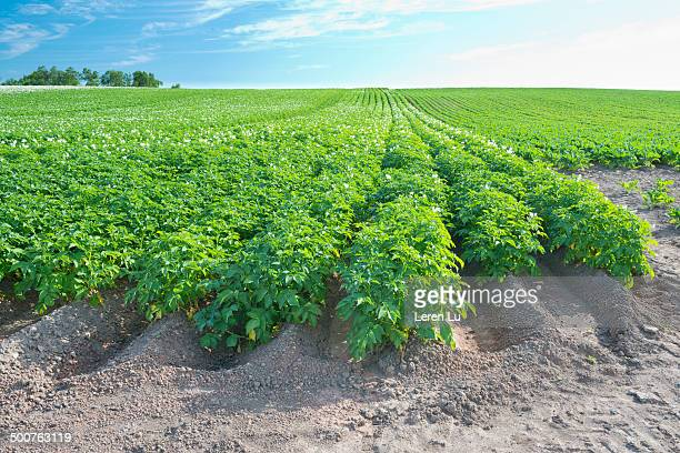 Potato farm growing on sand