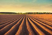 Potato field at dusk
