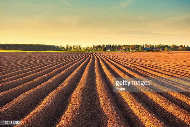 Potato field at dusk
