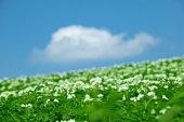Potato field, close up, differential focus, Biei town, Hokkaido prefecture, Japan