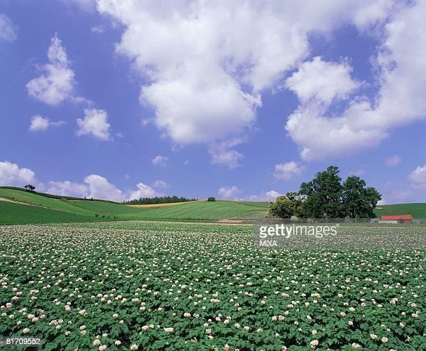 Potato field, Hokkaido, Japan