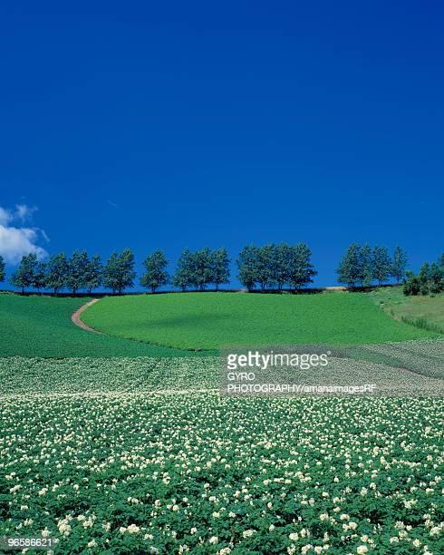 Potato field in Biei-Machi, Hokkaido, Japan