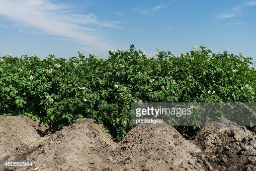 Campo de batata em flor : Foto de stock
