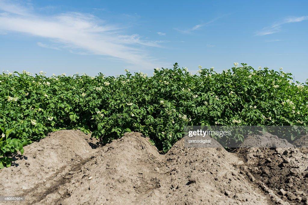 Potato field in bloom : Stock Photo