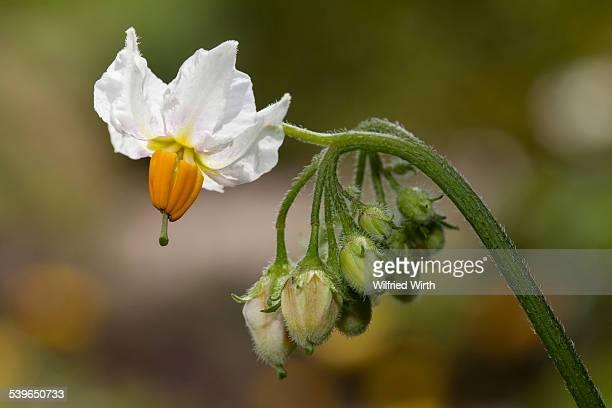 Potato flower -Solanum tuberosum-