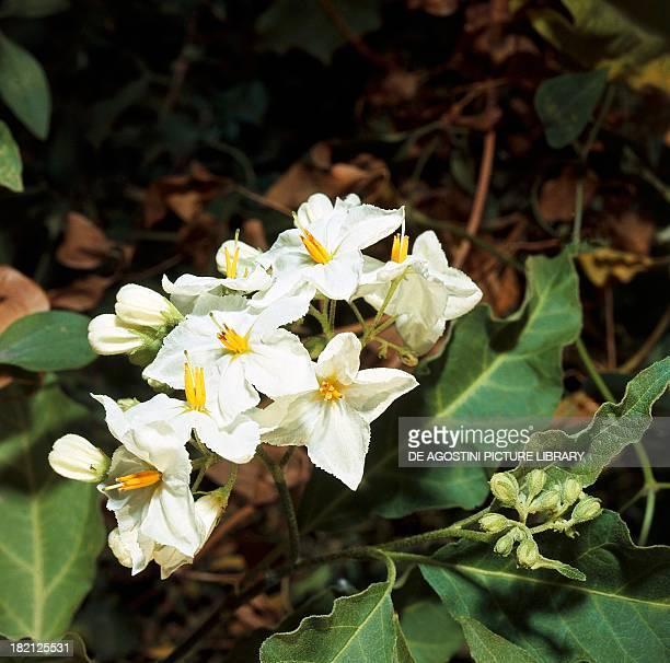 Potato flowers Solanaceae