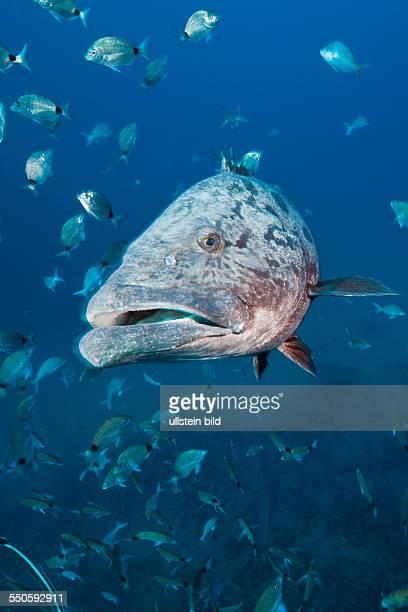 Potato Grouper Epinephelus tukula Aliwal Shoal Indian Ocean South Africa