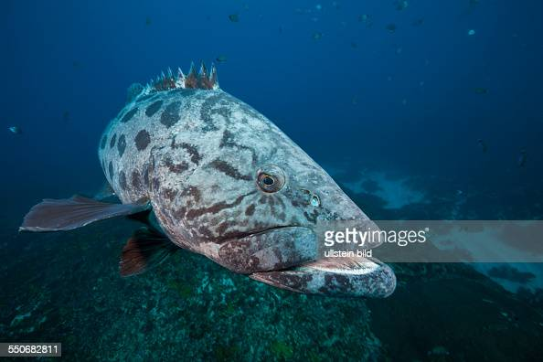 Potato Grouper Epinephelus tukula Aliwal Shoal Indian Ocean South Africa