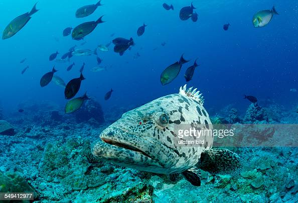 Potato grouper Epinephelus tukula Burma Myanmar Birma Indian ocean Andaman sea