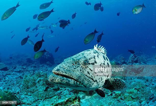Potato grouper Epinephelus tukula Burma Myanmar Birma Indian ocean Andaman sea