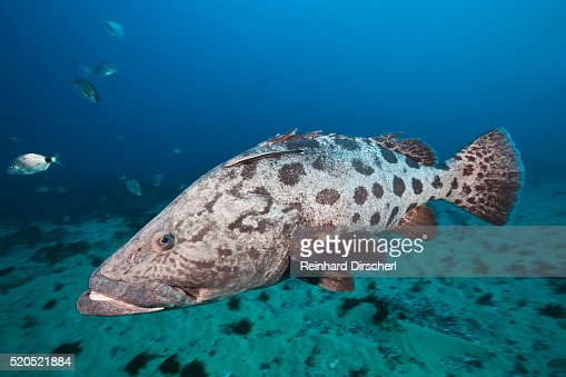 Potato Grouper (Epinephelus tukula)