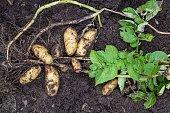 Potato harvesting in the garden