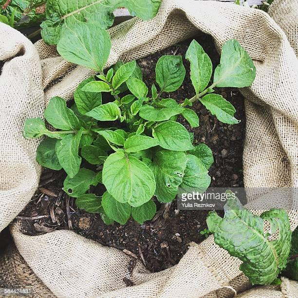 Potato plant in sack