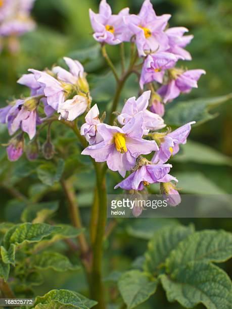 Kartoffel Pflanzen blühenden im Feld