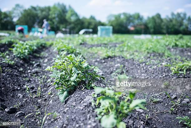 Potato plants in field, Bavaria, Germany