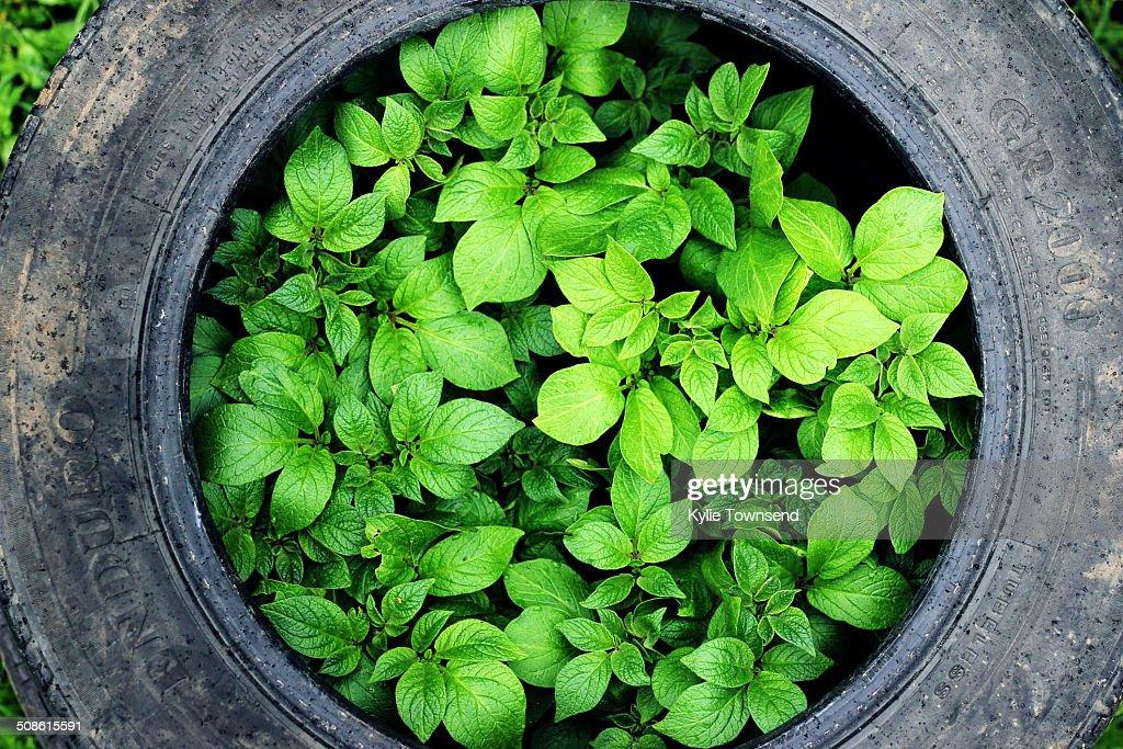 Potato seedlings growing in recycled tyre