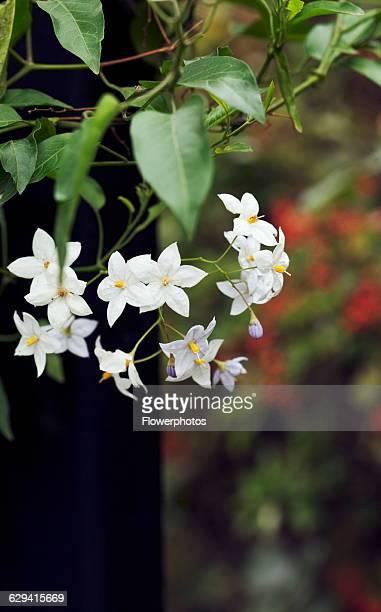 Potato Vine Solanum laxum 'Creche ar Pape'
