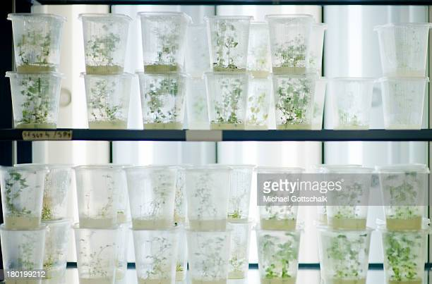 Potatoe plants grow as part of a comparative tests of genetically modified plants and plants with are not altered in a laboratory in the Institute of...